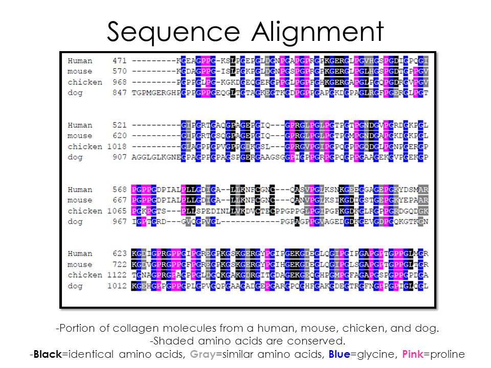 Sequence Alignment -Portion of collagen molecules from a human, mouse, chicken, and dog. -Shaded amino acids are conserved. - Black =identical amino a