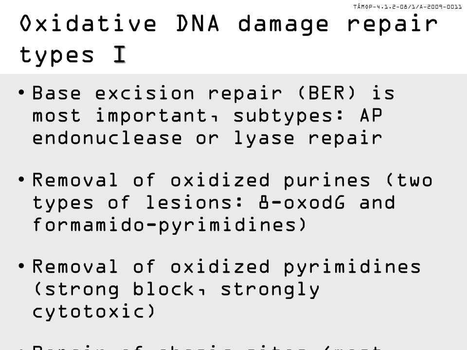 TÁMOP-4.1.2-08/1/A-2009-0011 Base excision repair (BER) is most important, subtypes: AP endonuclease or lyase repair Removal of oxidized purines (two types of lesions: 8-oxodG and formamido-pyrimidines) Removal of oxidized pyrimidines (strong block, strongly cytotoxic) Repair of abasic sites (most frequent) by AP endonucleases I Oxidative DNA damage repair types I