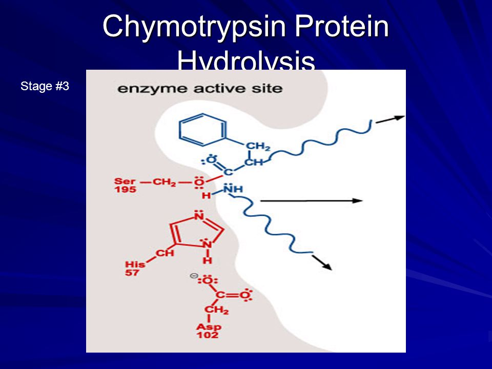 Chymotrypsin Protein Hydrolysis Stage #3