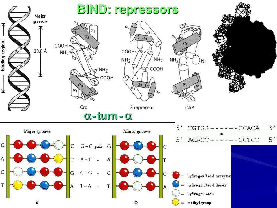 BIND: repressors  - turn - 