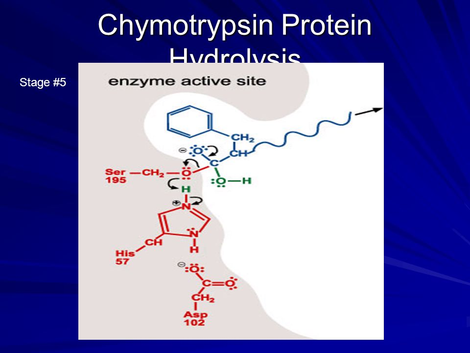 Chymotrypsin Protein Hydrolysis Stage #5