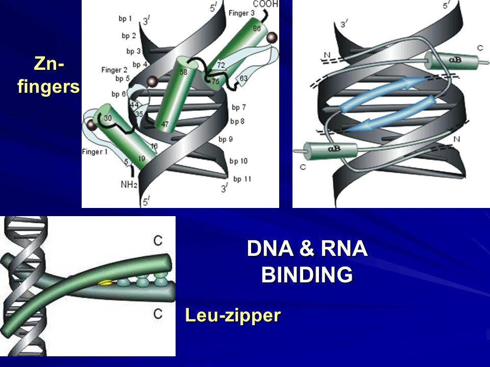 DNA & RNA BINDING Zn-fingers Leu-zipper