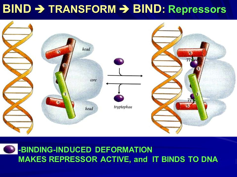 BIND  TRANSFORM  BIND : Repressors -BINDING-INDUCED DEFORMATION MAKES REPRESSOR ACTIVE, and IT BINDS TO DNA