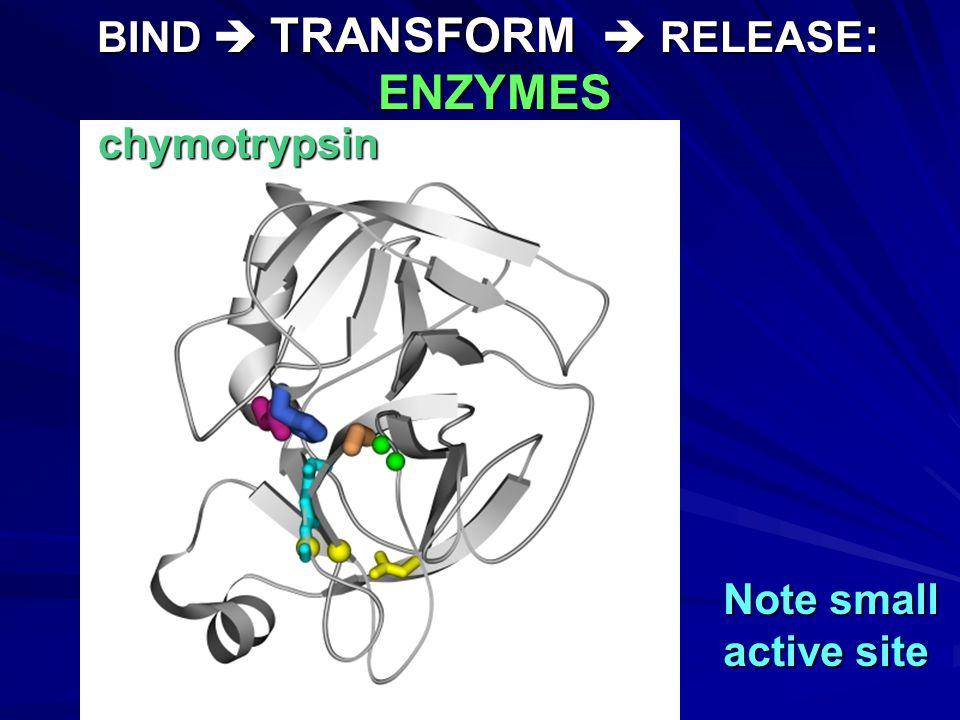 Chymotrypsin Protein Hydrolysis Stage #3