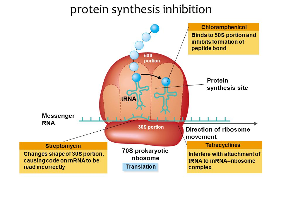 protein synthesis inhibition Translation Streptomycin Tetracyclines Chloramphenicol Messenger RNA Direction of ribosome movement 70S prokaryotic ribosome tRNA Protein synthesis site 30S portion 50S portion Changes shape of 30S portion, causing code on mRNA to be read incorrectly Interfere with attachment of tRNA to mRNA–ribosome complex Binds to 50S portion and inhibits formation of peptide bond