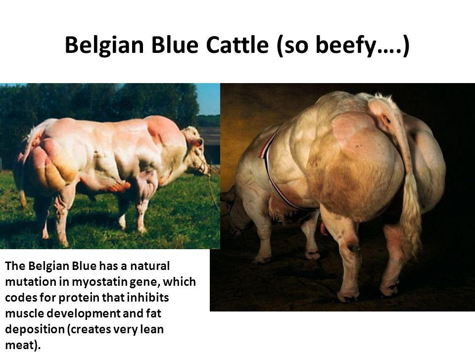 Belgian Blue Cattle (so beefy….) The Belgian Blue has a natural mutation in myostatin gene, which codes for protein that inhibits muscle development and fat deposition (creates very lean meat).