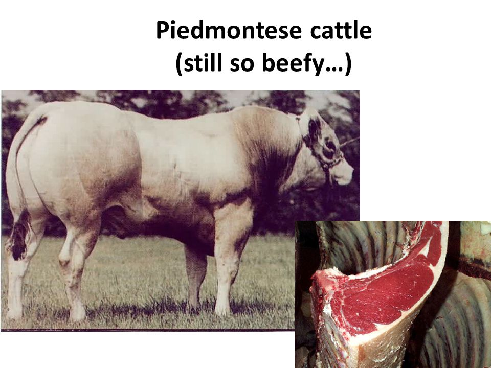 Piedmontese cattle (still so beefy…)