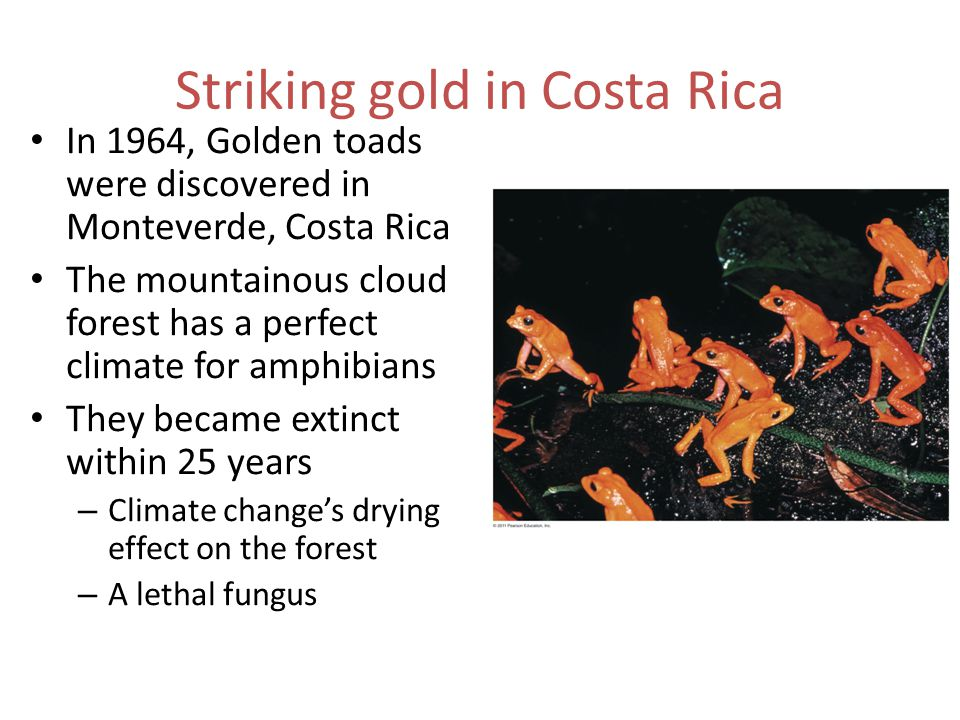 Striking gold in Costa Rica In 1964, Golden toads were discovered in Monteverde, Costa Rica The mountainous cloud forest has a perfect climate for amphibians They became extinct within 25 years – Climate change's drying effect on the forest – A lethal fungus