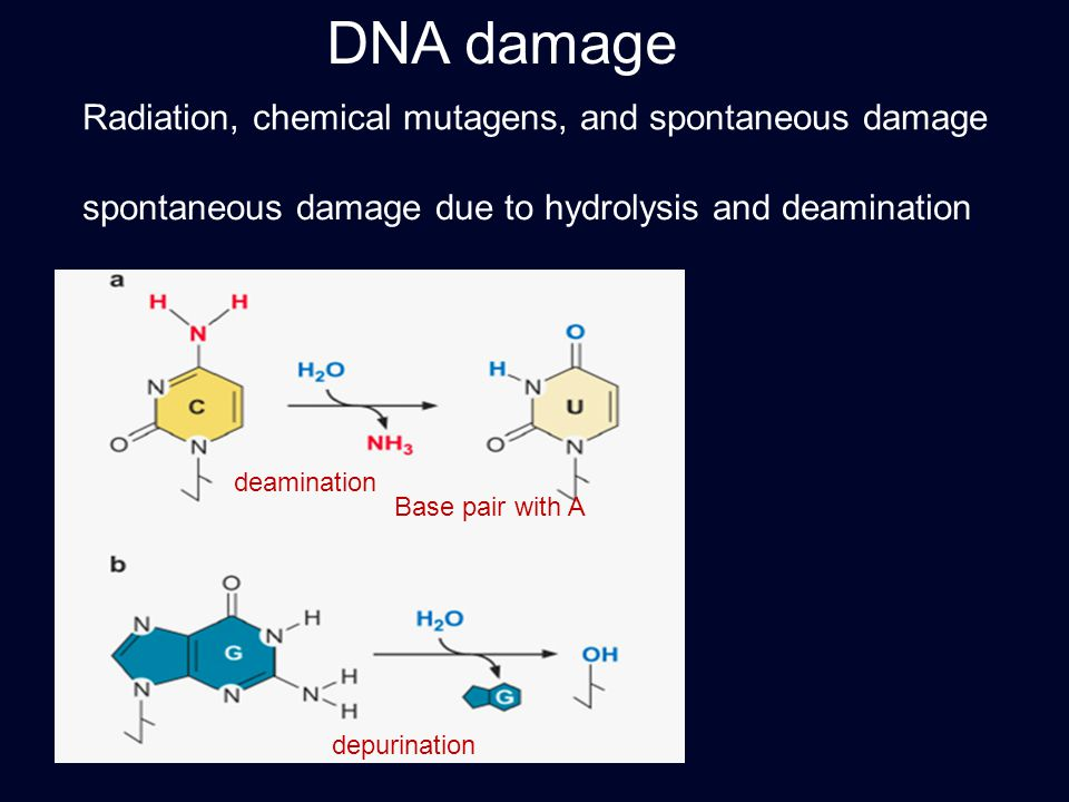 DNA damage Radiation, chemical mutagens, and spontaneous damage deamination spontaneous damage due to hydrolysis and deamination Base pair with A depu