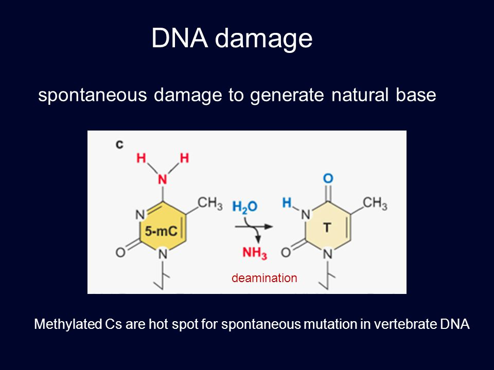 DNA damage spontaneous damage to generate natural base deamination Methylated Cs are hot spot for spontaneous mutation in vertebrate DNA