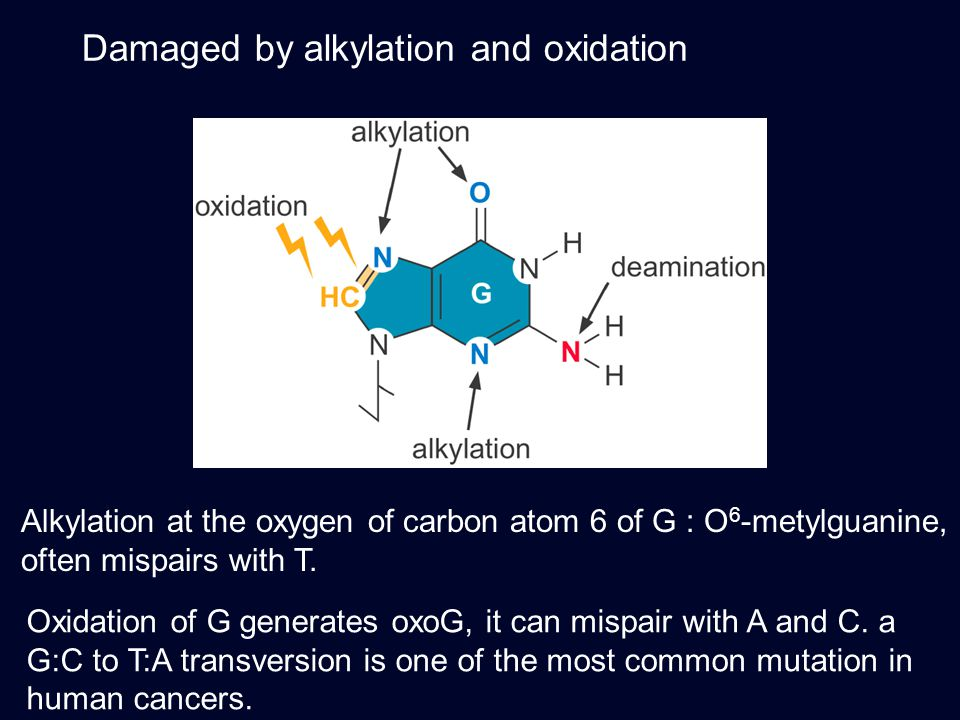 Damaged by alkylation and oxidation Alkylation at the oxygen of carbon atom 6 of G : O 6 -metylguanine, often mispairs with T. Oxidation of G generate