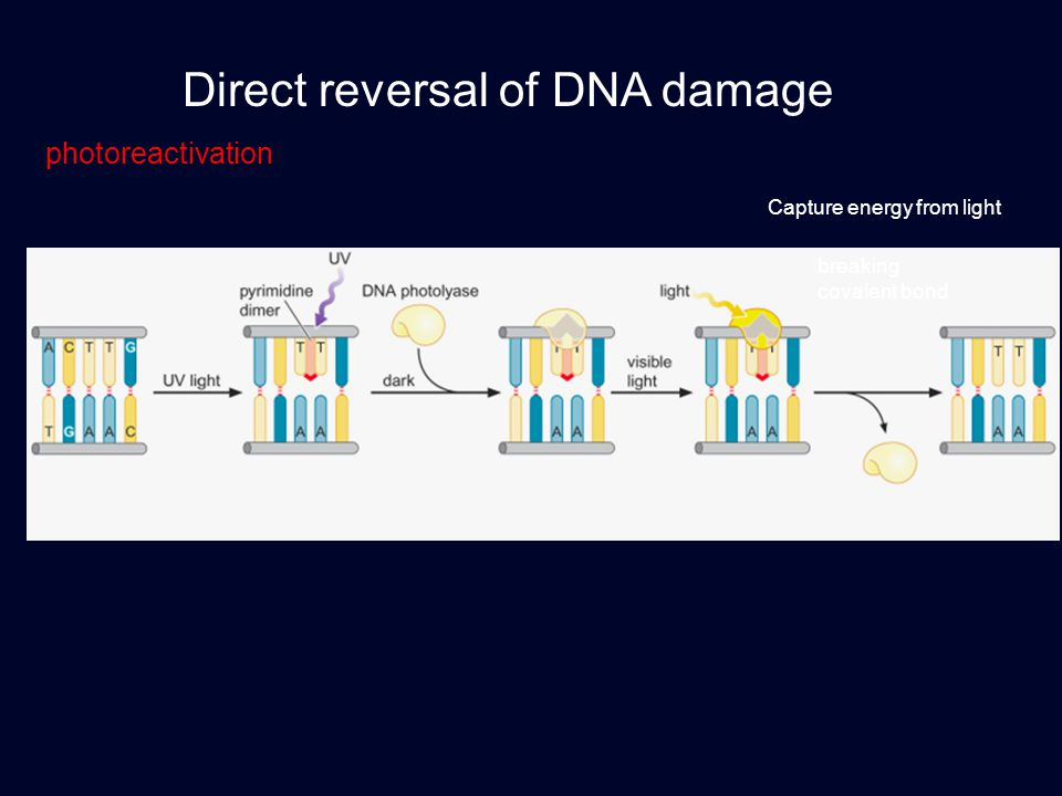 Direct reversal of DNA damage photoreactivation breaking covalent bond Capture energy from light