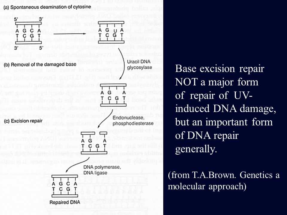 Base excision repair NOT a major form of repair of UV- induced DNA damage, but an important form of DNA repair generally. (from T.A.Brown. Genetics a
