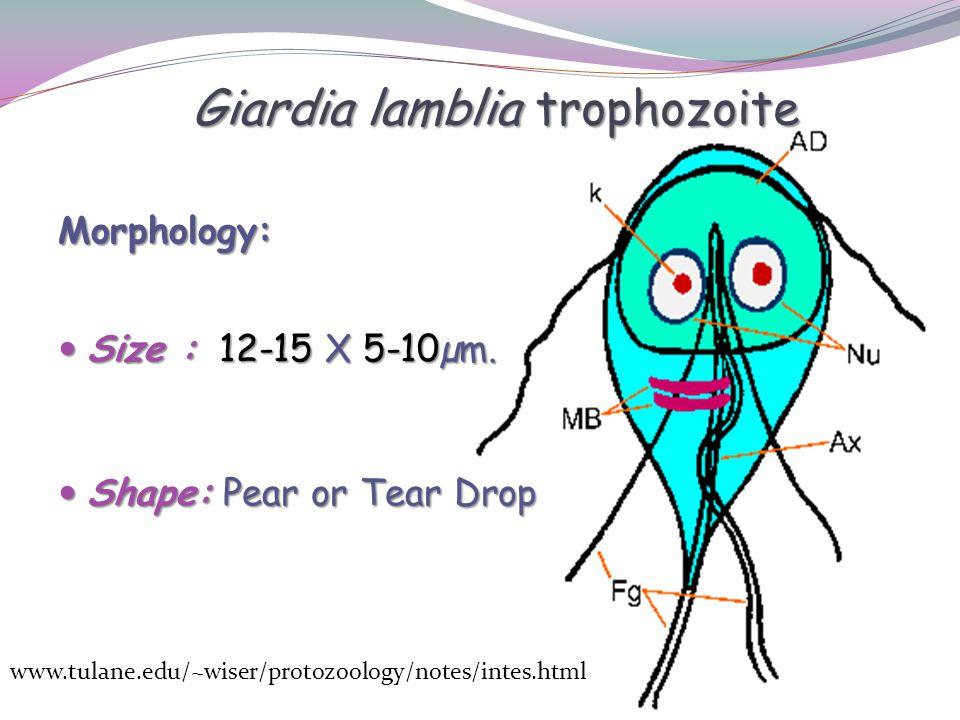 Giardia lamblia trophozoite Morphology: Size : 12-15 X 5-10µm.