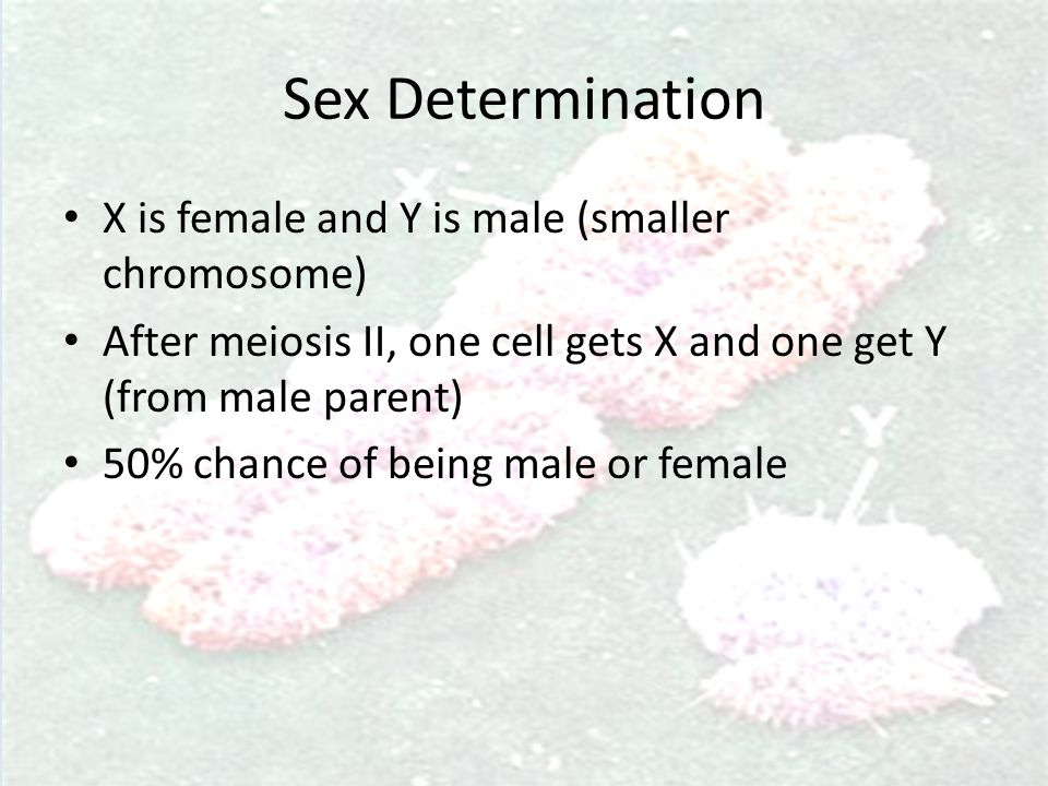 Sex Determination X is female and Y is male (smaller chromosome) After meiosis II, one cell gets X and one get Y (from male parent) 50% chance of bein
