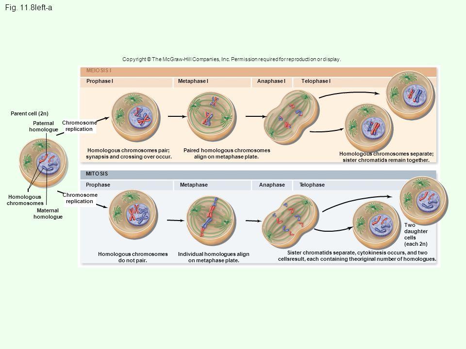 Parent cell (2n) MEIOSIS I Prophase IMetaphase IAnaphase ITelophase I ProphaseMetaphaseAnaphase T elophase Homologous chromosomes do not pair. Individ