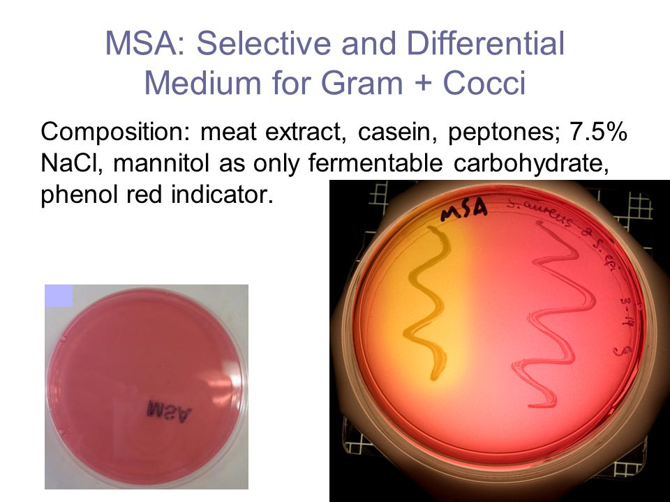 Table 14-1: Mannitol Salt Agar (MSA) Results and Interpretation ResultInterpretationPresumptive ID Poor growth or no growth (P) Organism is inhibited by NaCl Not Staphylococcus Good growth (G) Organism is not inhibited by NaCl Possible Staphylococcus Medium turns yellow (Y) Organism produces acid (A) from mannitol fermentation Possible pathogenic Staphylococcus aureus Medium remains red (R) Organism does not ferment mannitol.