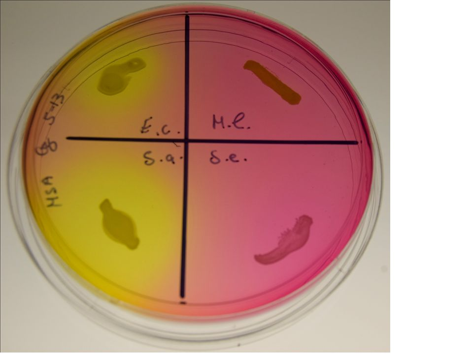 Staphylococcus saprophyticus on MSA plate