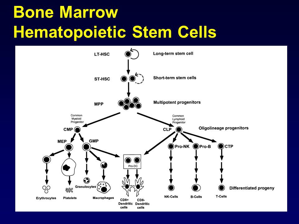 Bone Marrow Hematopoietic Stem Cells