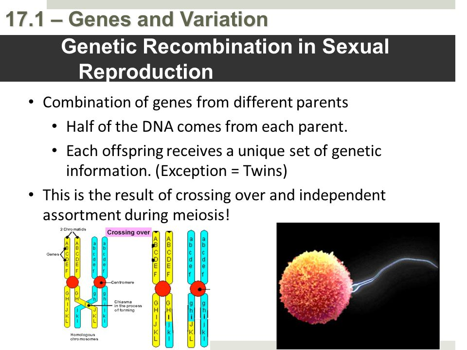 17.1 – Genes and Variation Genetic Recombination in Sexual Reproduction Combination of genes from different parents Half of the DNA comes from each pa