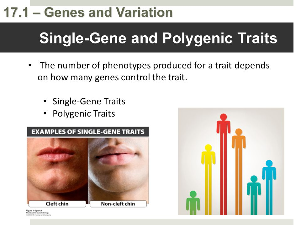 17.1 – Genes and Variation Single-Gene and Polygenic Traits The number of phenotypes produced for a trait depends on how many genes control the trait.