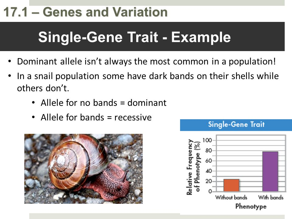 17.1 – Genes and Variation Dominant allele isn't always the most common in a population! In a snail population some have dark bands on their shells wh