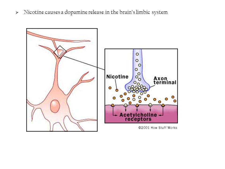  Nicotine causes a dopamine release in the brain's limbic system