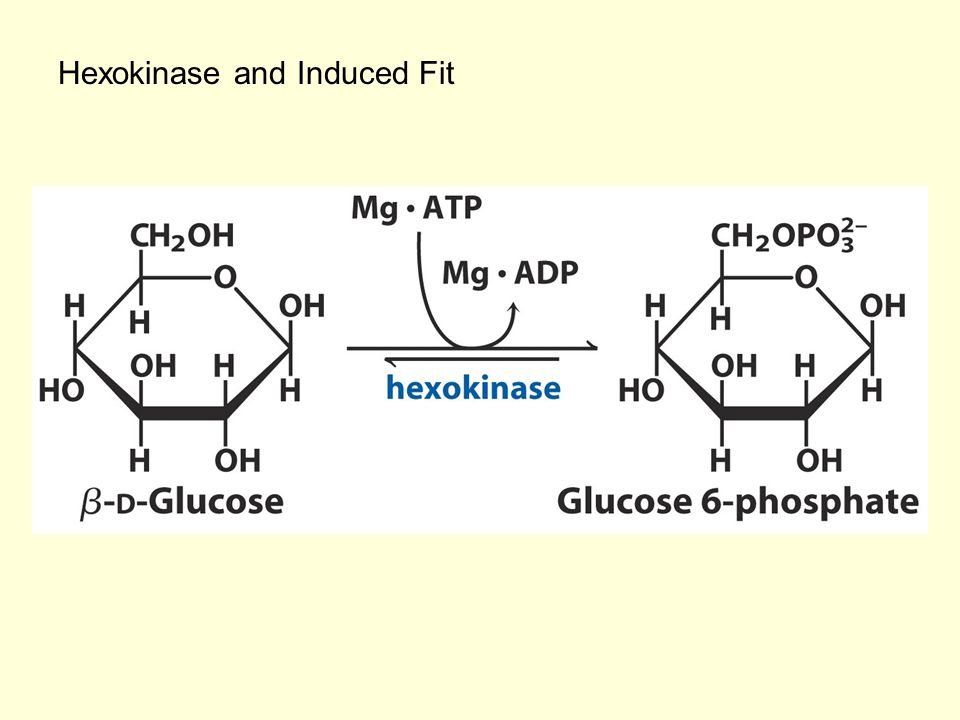 Hexokinase and Induced Fit
