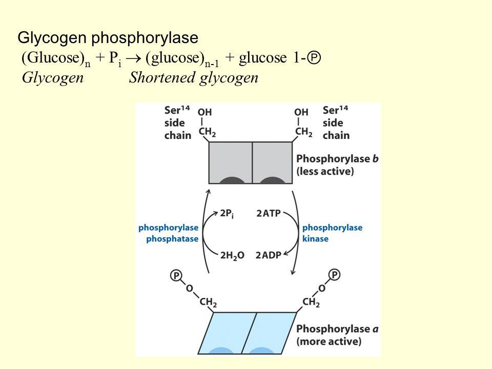 Glycogen phosphorylase (Glucose) n + P i  (glucose) n-1 + glucose 1- Ⓟ Glycogen Shortened glycogen