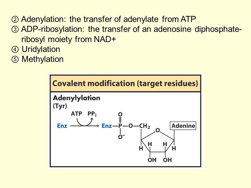 ② Adenylation: the transfer of adenylate from ATP ③ ADP-ribosylation: the transfer of an adenosine diphosphate- ribosyl moiety from NAD+ ④ Uridylation