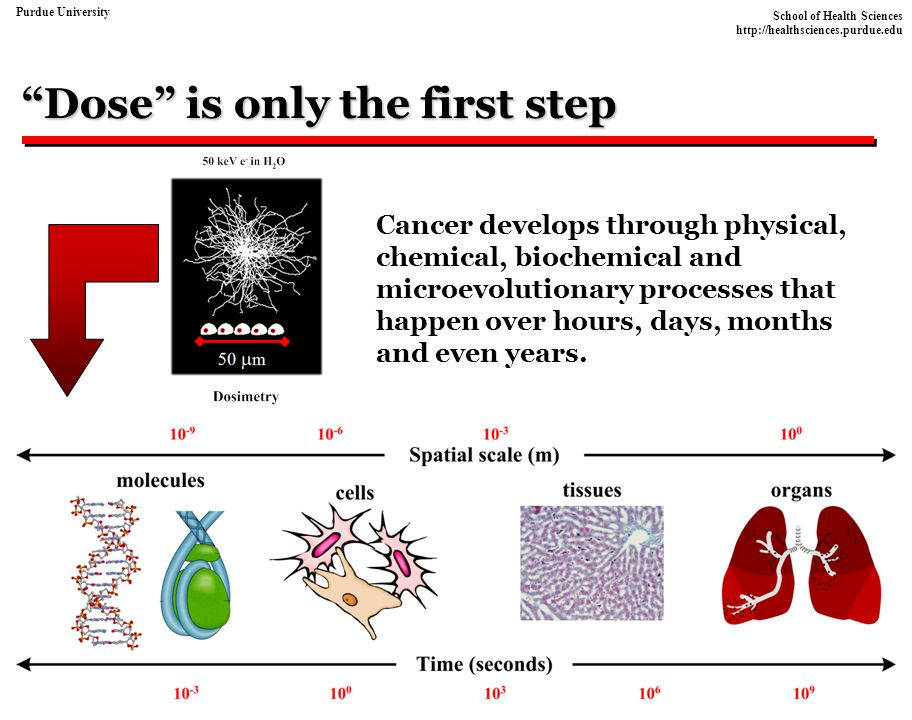 School of Health Sciences http://healthsciences.purdue.edu Purdue University Comments Multi-stage models that use exponential cell growth kinetics are extremely sensitive to the selection of a net cell birth rate (  -  ) and have conceptual difficulties For lung cancer, (  -  ) ~ 0.012 + 0.001.