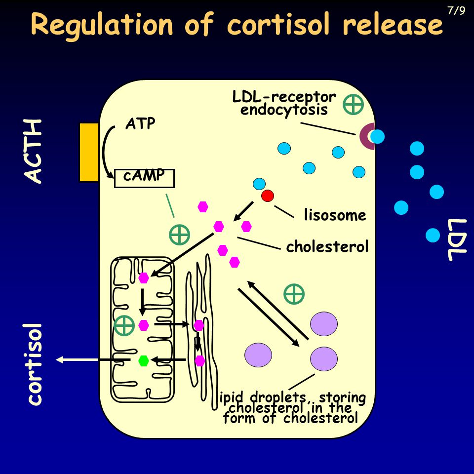Regulation of cortisol release lisosome cholesterol ACTH ATP cAMP lipid droplets, storing cholesterol in the form of cholesterol cortisol LDL LDL-rece