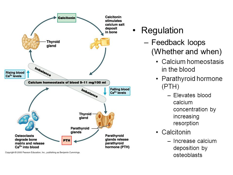 Regulation –Feedback loops (Whether and when) Calcium homeostasis in the blood Parathyroid hormone (PTH) –Elevates blood calcium concentration by increasing resorption Calcitonin –Increase calcium deposition by osteoblasts