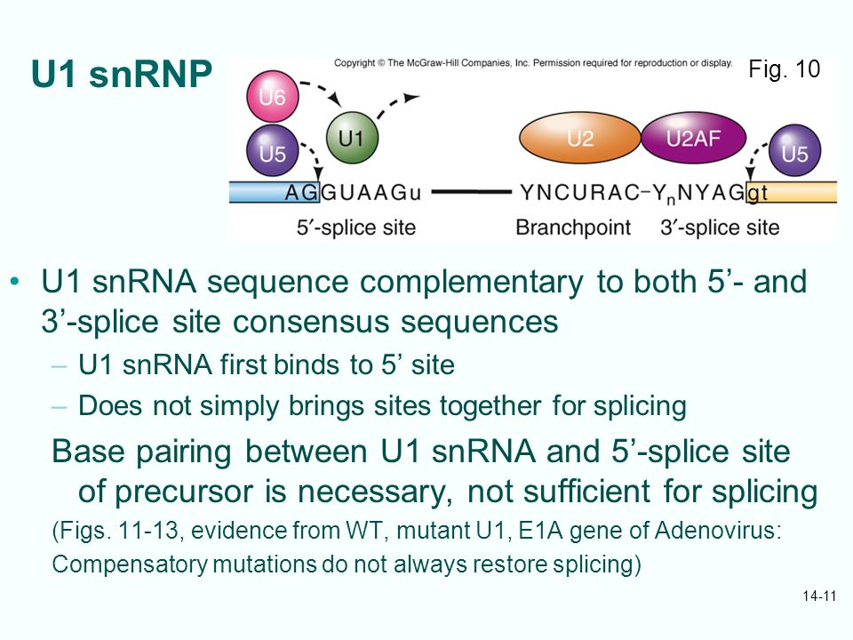 14-11 U1 snRNP U1 snRNA sequence complementary to both 5'- and 3'-splice site consensus sequences –U1 snRNA first binds to 5' site –Does not simply brings sites together for splicing Base pairing between U1 snRNA and 5'-splice site of precursor is necessary, not sufficient for splicing (Figs.