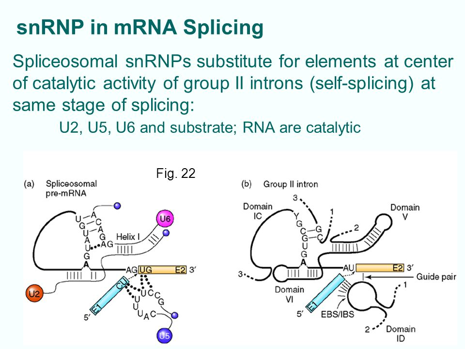 Spliceosomal snRNPs substitute for elements at center of catalytic activity of group II introns (self-splicing) at same stage of splicing: U2, U5, U6 and substrate; RNA are catalytic 14-16 Fig.