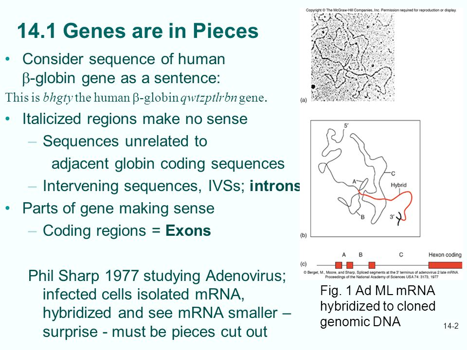 14-2 14.1 Genes are in Pieces Consider sequence of human  -globin gene as a sentence: This is bhgty the human  -globin qwtzptlrbn gene.