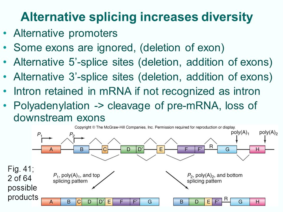 14-25 Alternative splicing increases diversity Alternative promoters Some exons are ignored, (deletion of exon) Alternative 5'-splice sites (deletion, addition of exons) Alternative 3'-splice sites (deletion, addition of exons) Intron retained in mRNA if not recognized as intron Polyadenylation -> cleavage of pre-mRNA, loss of downstream exons Fig.