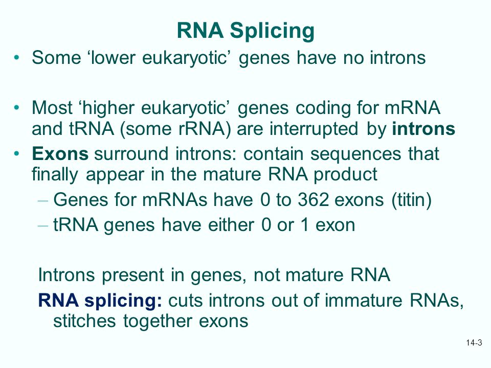 14-3 RNA Splicing Some 'lower eukaryotic' genes have no introns Most 'higher eukaryotic' genes coding for mRNA and tRNA (some rRNA) are interrupted by introns Exons surround introns: contain sequences that finally appear in the mature RNA product –Genes for mRNAs have 0 to 362 exons (titin) –tRNA genes have either 0 or 1 exon Introns present in genes, not mature RNA RNA splicing: cuts introns out of immature RNAs, stitches together exons