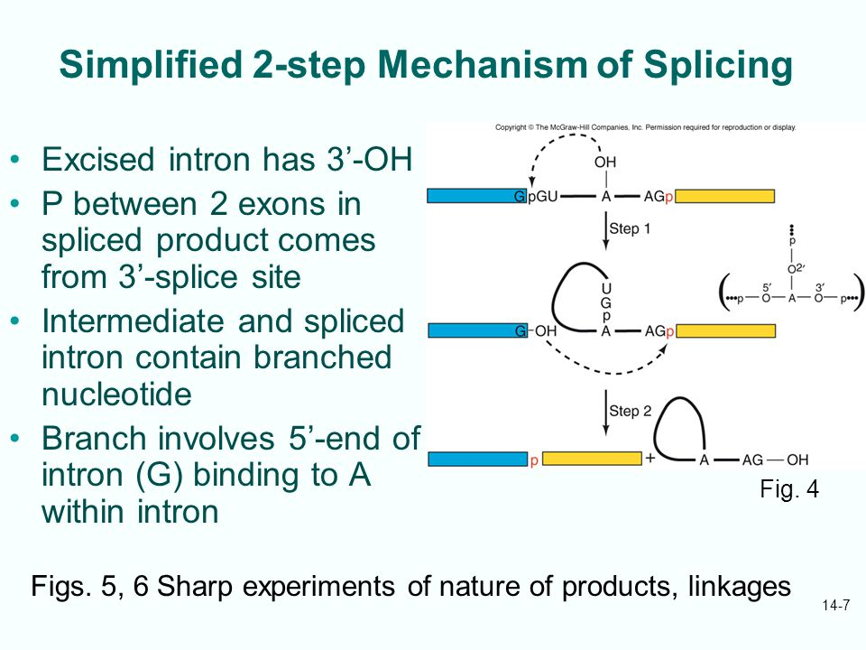 14-7 Simplified 2-step Mechanism of Splicing Excised intron has 3'-OH P between 2 exons in spliced product comes from 3'-splice site Intermediate and spliced intron contain branched nucleotide Branch involves 5'-end of intron (G) binding to A within intron Fig.