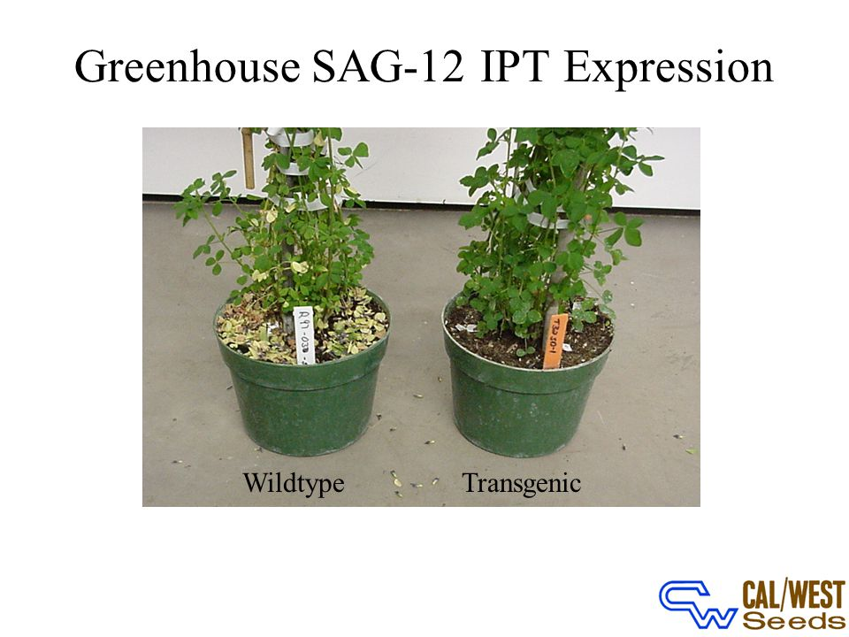 Greenhouse SAG-12 IPT Expression WildtypeTransgenic