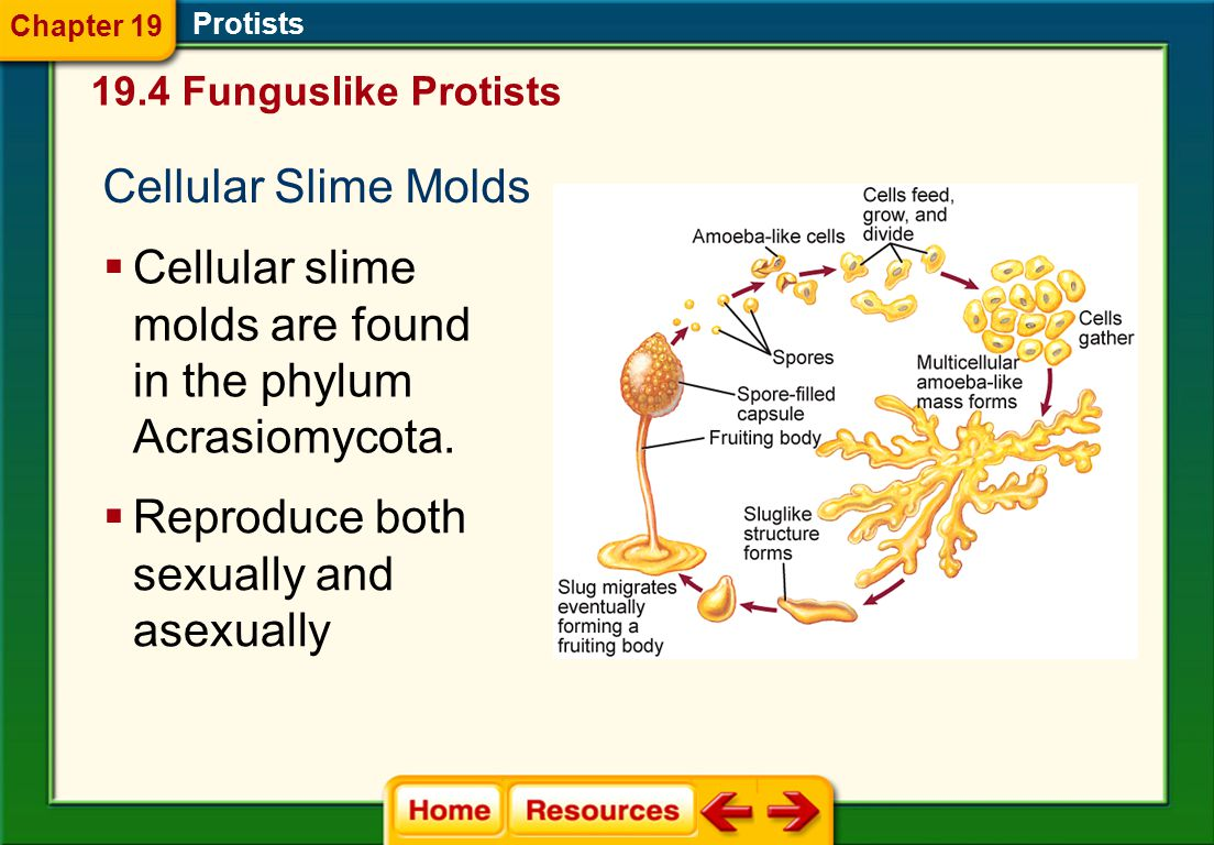 Acellular Slime Molds  Acellular slime molds are found in the phylum Myxomycota. Protists 19.4 Funguslike Protists Chapter 19