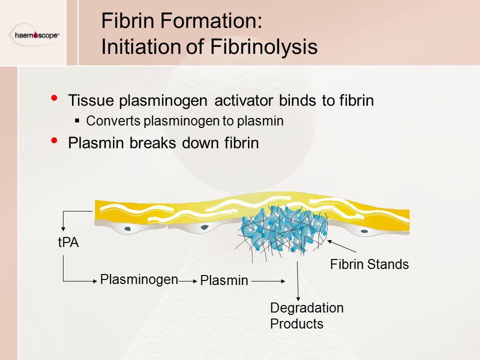 Fibrin Formation: Initiation of Fibrinolysis Tissue plasminogen activator binds to fibrin  Converts plasminogen to plasmin Plasmin breaks down fibrin