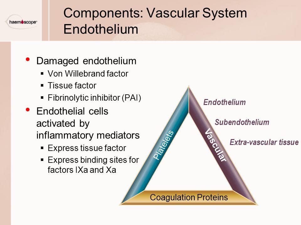 Components: Vascular System Endothelium Damaged endothelium  Von Willebrand factor  Tissue factor  Fibrinolytic inhibitor (PAI) Endothelial cells a