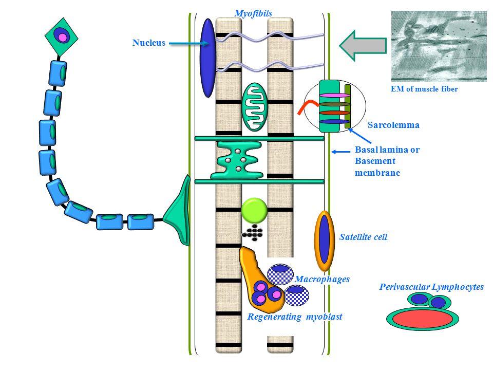 Perivascular Lymphocytes Myofibils Satellite cell Sarcolemma Nucleus EM of muscle fiber Basal lamina or Basement membrane Macrophages Regenerating myoblast