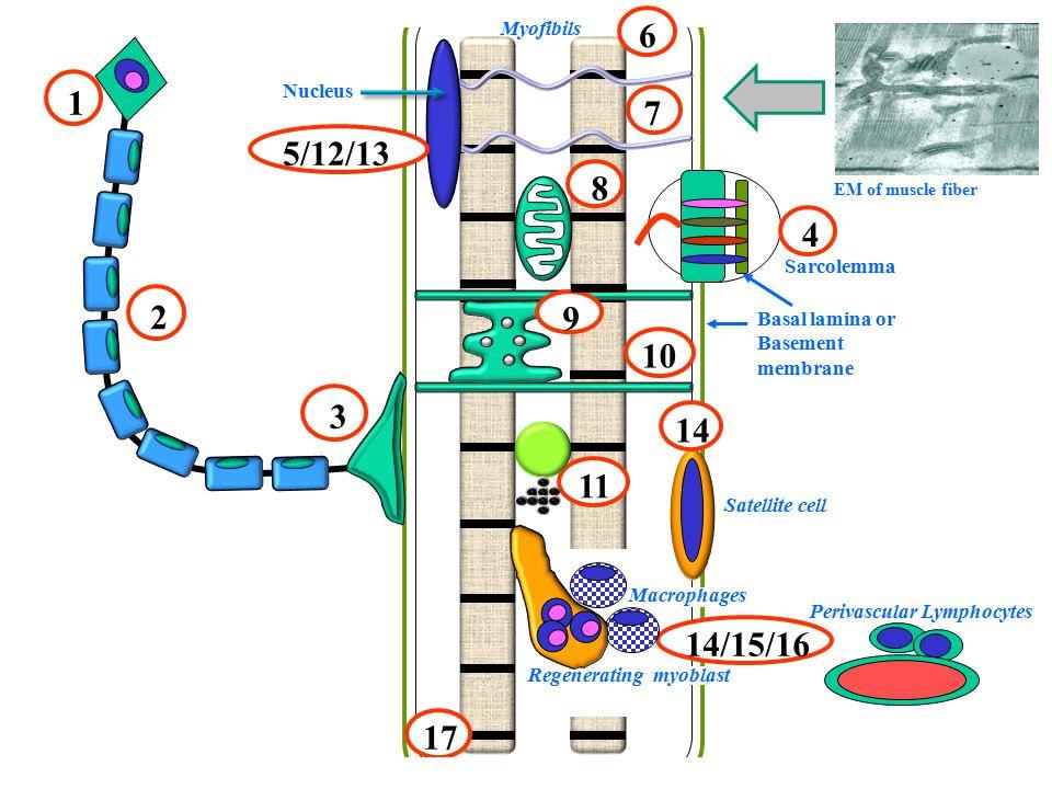9 8 4 11 10 14/15/16 Perivascular Lymphocytes Myofibils Satellite cell 2 3 Sarcolemma 5/12/13 Nucleus 6 EM of muscle fiber 14 17 7 Basal lamina or Basement membrane Macrophages Regenerating myoblast 1