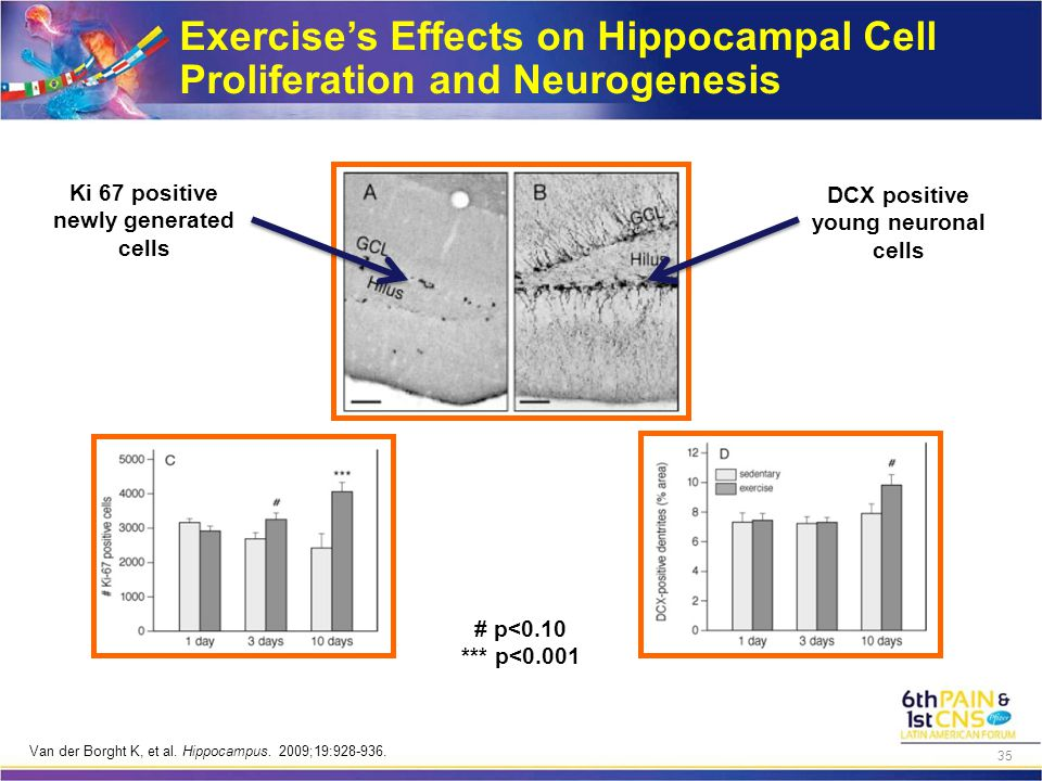 Exercise's Effects on Hippocampal Cell Proliferation and Neurogenesis Ki 67 positive newly generated cells DCX positive young neuronal cells # p<0.10 *** p<0.001 Van der Borght K, et al.