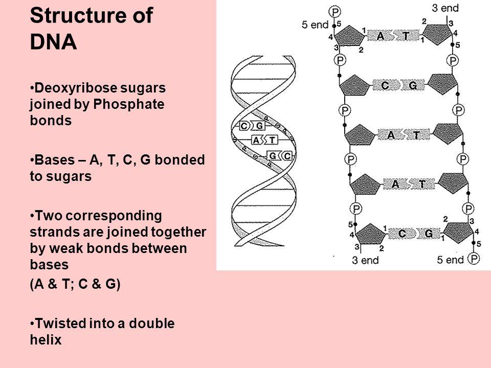 GENETICS Recap Basics DNA Structure Function Replication ppt – Dna Structure and Function Worksheet