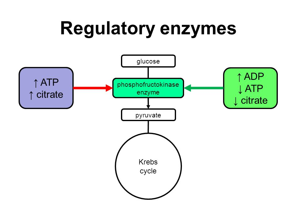 Regulatory enzymes glucose phosphofructokinase enzyme pyruvate Krebs cycle ↑ ATP ↑ citrate ↑ ADP ↓ ATP ↓ citrate