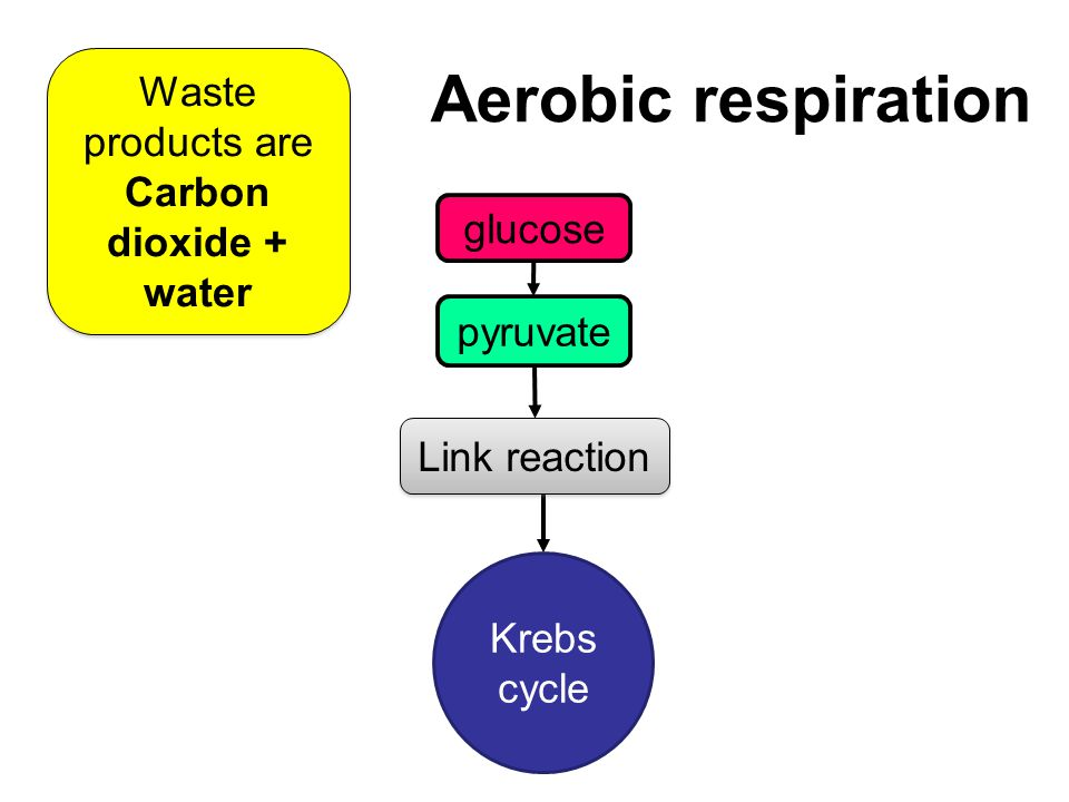 Aerobic respiration glucose pyruvate Krebs cycle Link reaction Waste products are Carbon dioxide + water Waste products are Carbon dioxide + water