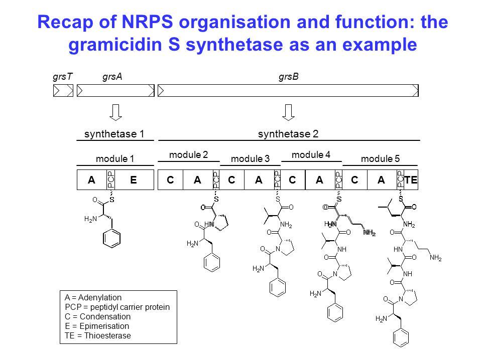 Recap of NRPS organisation and function: the gramicidin S synthetase as an example AECAAACCCATE module 1 module 2 module 3 module 4 module 5 grsAgrsBgrsT synthetase 1synthetase 2 PCP A = Adenylation PCP = peptidyl carrier protein C = Condensation E = Epimerisation TE = Thioesterase